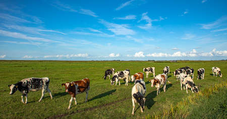 Herd of pasture cows in a wide Dutch landscape with a straight horizon at a summer day.