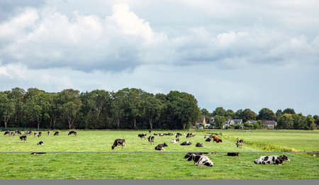 Herd of cows lying down and grazing on a green meadow in flat dutch landscape with trees at the horizon.