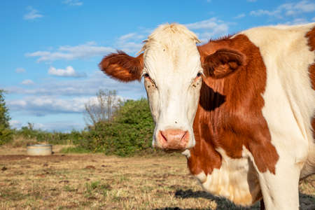 Close up of a head of a spotted pretty cow standing in a dry field with in the background a blue sky with clouds.