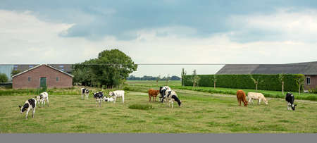 Idyllic old-fashioned landscape with grazing cows and farm barns in the netherlands.