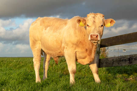 Beef bull, white, blonde d'aquitaine, stands on a meadow, next to a gate, far horizon, total shot. 免版税图像