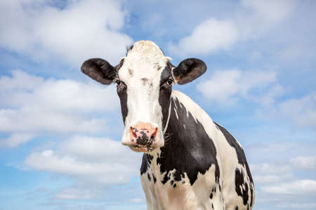 Mature, adult black and white cow, cute gentle look, pink nose and a blue sky. 免版税图像