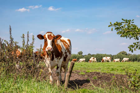 A cow in a meadow behind barbed wire. Herd of cows at the background.