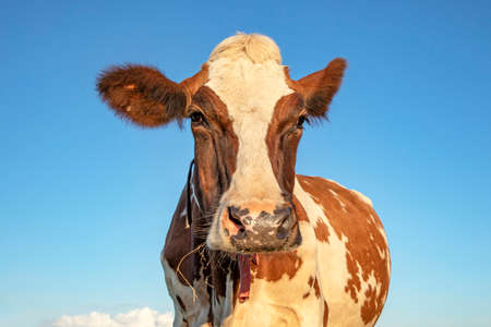 Brown and white cow, open innocent face, pink nose and a blue sky background. 免版税图像