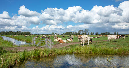 Cows in field on the edge of a ditch behind a closed gate, in a typical Dutch, Holland landscape of flat land and water and a blue sky with clouds on the horizon.