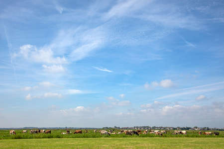 Bunch of cows grazing in the pasture, peaceful and sunny in Dutch landscape of flat land with a blue sky with clouds on the horizon.