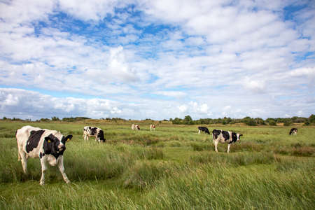 Young black and white Holstein cattle grazing in the salt marshes of the island of Schiermonnikoog, the Netherlands
