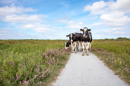 Four cows stroll along a path with purple flowers on either side on a beautiful summer day on the island of Schiermonnikoog. 免版税图像