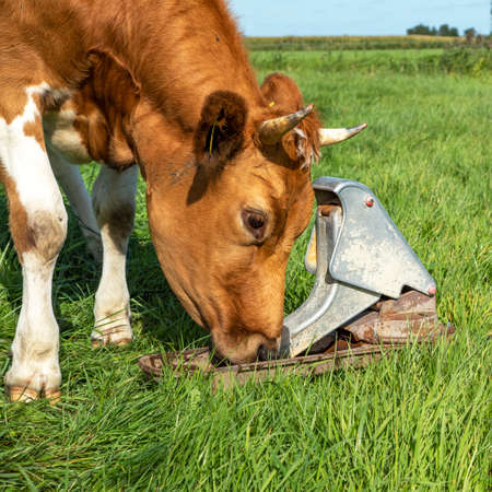 Cow drinking water from the pasture pump, close up, she pumps her own water by pressing her nose on it. 免版税图像