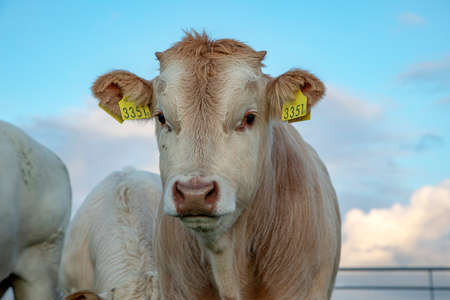 Head of young beef bull, white blonde d'aquitaine front view, under a blue sky in Holland. 免版税图像
