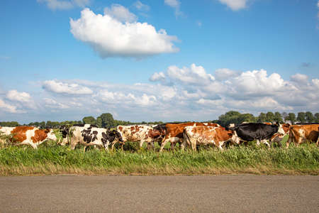 Herd of cows in a row, in line, one behind the other, one after another, in sequence, on end, in single file, on their way to the milking parlor to be milked. 免版税图像