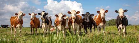 Group of cows stand upright on the edge of a green meadow in a pasture, a panoramic wide view 免版税图像