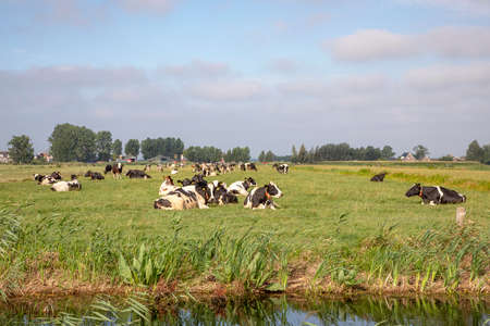 Herd of cows lie in a meadow next to a ditch, black and white pied, lazy and happy in the sun.