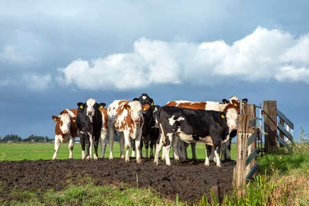 Group of young cows behind an gate, together standing on soil in a green pasture, next to each other with at the background a blue sky.
