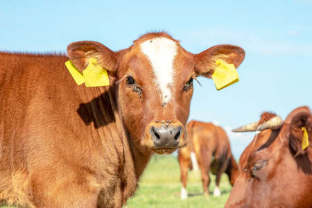 Head of red calf, close up, breed: