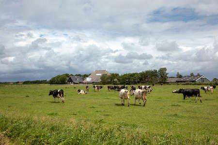 Herd of cows, bad rainy weather in cloudy skies, walking in green pasture with farm in the background on the island of Schiermonnikoog.