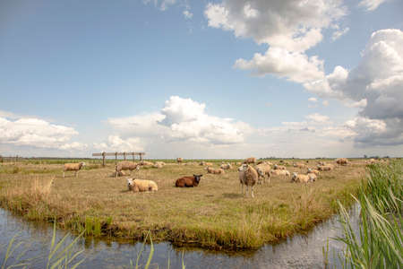Flock of sheep on the bank of a creek, in a typical landscape of Holland, flat land and water and on the horizon a blue sky with white clouds .