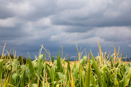 Blooming corn in close up under a heavy cloudy sky full of rain, in France. 免版税图像