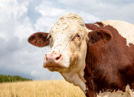 Beautiful cow's head. Powerful sage old, red white Montbeliarde cow with flies and tear fluid on the cheeks looks sufficiently into the camera, in a yellow grass field and a cloudy sky in the Jura, France.