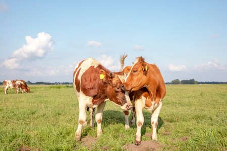 Two cows with horns. The one licks playfully, hugging and cuddling the other cow, in a bright green meadow.