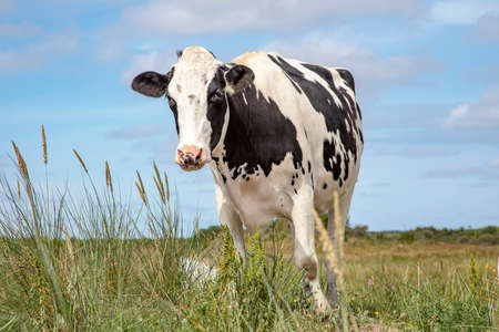 Gentle cow in pasture. On the island of Schiermonnikoog there is a beautiful cow with a pink nose behind the green grass and sorrel, and a bright blue sky.