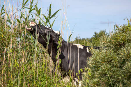 Black-and-white cow eats leaves from the reed stalks with her tongue, she stands in the green bushes on the isle Schiermonnikoog.