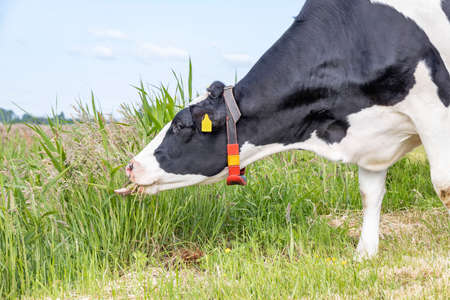 Grazing cow, tongue tearing blades of grass, black and white, in a green pasture and a blue sky 免版税图像