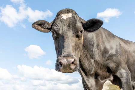 Cow looking down friendly, mature and calm gentle looking, medium shot of a black-and-white bovine in front of a blue sky