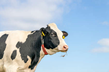 Cow head medium shot, looking frolic, a pretty bovine with yellow ear tags, looking friendly chewing blades of grass, black and white, and blue background with copy space