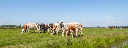 Cows group grazing together in a row in a green pasture, blue sky and wide view 免版税图像