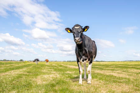 Cow, alone in field, black and white curious surprised looking, blue sky, horizon over land 免版税图像