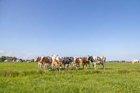 Group cows standing playful and happy together in a green field, panoramic wide view