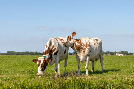 Cuddling cows tender love, red and white portrait of two bovine, lovingly together, playfully hugging in a field, pale blue sky