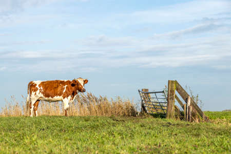 Cow and gate, waiting for closed wooden fence in a field and under a blue sky.