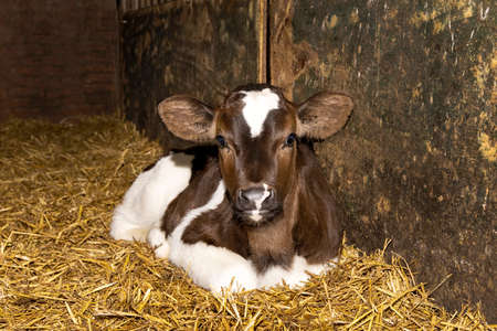 Beautiful calf, delicate red-brown young cow is lying curled up in the straw in a barn 免版税图像