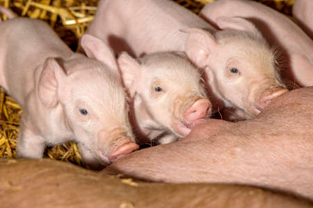 Cute piglets drinking from mother pig's tea, tea in mouth, suckle milk 免版税图像