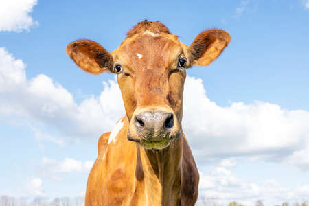 Jersey cow head, looking friendly, light brown tan coat, blue cloudy background
