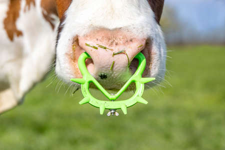 Pink nose of a cow with spiked nose ring, a maverick calf weaning ring of bright green yellow plastic.