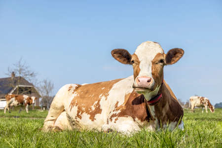 A cow chewing mouth open, ruminating red and white in a pasture lying lazy