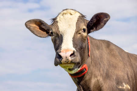 Cow looking friendly, portrait of a handsome brown bovine, gentle, pink nose, medium shot in front of a blue sky.