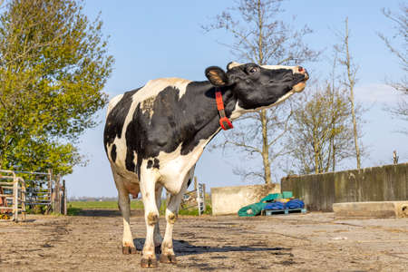 Howling cow standing mooing, neck stretched in a farmyard on a path, totally in view
