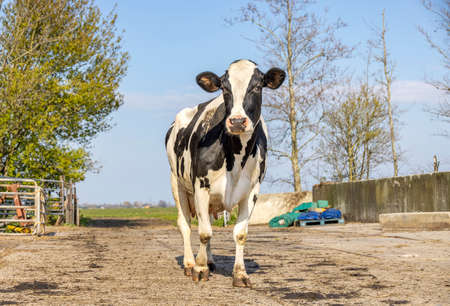Dairy cow walking relaxed in a farmyard to the milking robot, fully in view