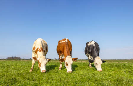 Three cows grazing in a pasture, black and red with white standing together, in a row next to each other, green grass and a blue sky, seen from the front, totally in view