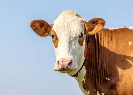 Cow portrait, a cute and calm red bovine, eye patches, fleckvieh, friendly expression, adorable