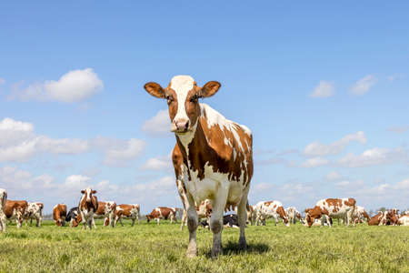 Cow approaching, walking in a pasture under a blue sky and a herd of cows as background and a faraway straight horizon