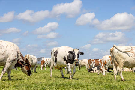 Cows grazing happy in a field, a herd together in a green pasture, a lovely scene and blue sky