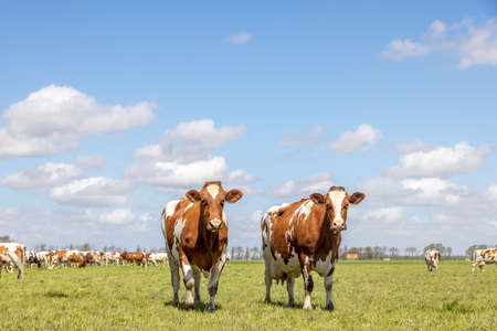 Two cows, red and white standing in a pasture landscape a blue sky with clouds and a herd at horizon