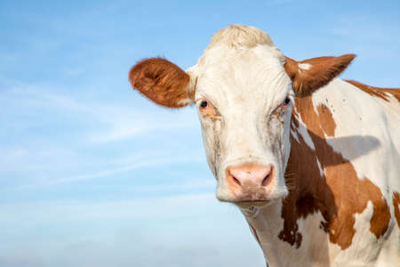 Mature, adult brown and white cow, gentle look, pink nose, in front of a blue sky.
