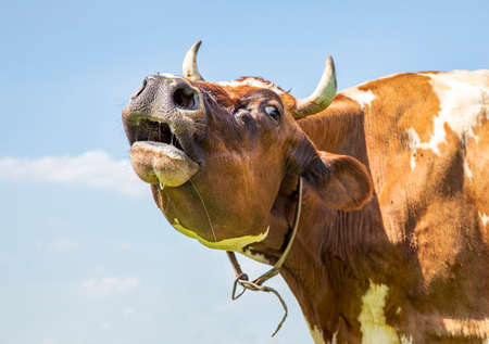 Funny horned cow does moo with stretched neck, saliva and her head uplifted.