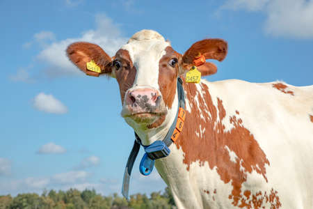 Funny cow with torn ear and cross eyes has a band around his neck under a blue sky with white clouds.